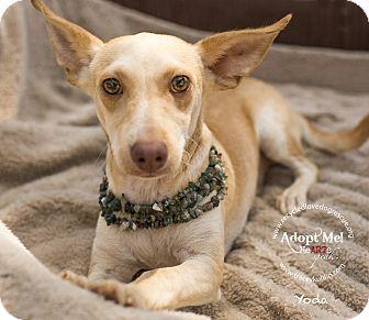 Ibizan Hound Mix Dog for adoption in Inland Empire, California - YODA