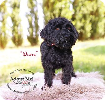 Maltese/Poodle (Miniature) Mix Dog for adoption in Lubbock, Texas - Walter