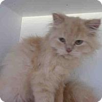 Adopt A Pet :: MIDNIGHT - Upper Marlboro, MD