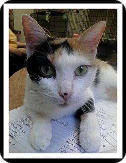 Domestic Shorthair Cat for adoption in Trevose, Pennsylvania - Artemis