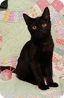 Domestic Shorthair Cat for adoption in Highland, Indiana - MOONSHADOW