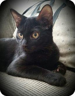 Domestic Shorthair Kitten for adoption in Staten Island, New York - Klein