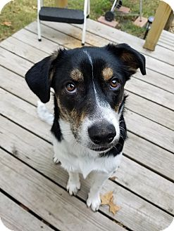 Labrador Retriever Mix Dog for adoption in Manhattan, Kansas - Harley