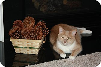 Domestic Shorthair Cat for adoption in Chesapeake, Virginia - Lola