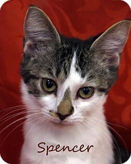 Domestic Shorthair Kitten for adoption in knoxville, Tennessee - Spencer $85 Male Kitten