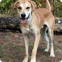 Saluki/Labrador Retriever Mix Dog for adoption in Towson, Maryland - Gambit