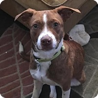 Springer Spaniel/Mountain Cur Mix Dog for adoption in Brooklyn Center, Minnesota - Cooper