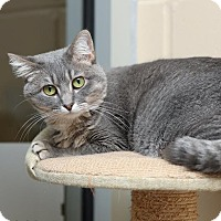 Domestic Shorthair Cat for adoption in Columbia, Illinois - Wendy