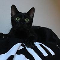 Domestic Shorthair Kitten for adoption in Los Angeles, California - Sensational Stinky