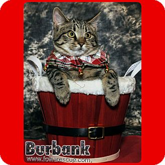 Domestic Shorthair Cat for adoption in Wayne, New Jersey - Burbank