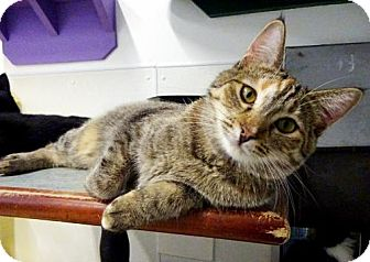 Domestic Shorthair Cat for adoption in Belleville, Michigan - Chrissy
