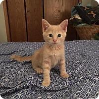 Adopt A Pet :: Kanye - Manhattan, KS