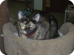 Domestic Shorthair Cat for adoption in Hamburg, New York - Tara