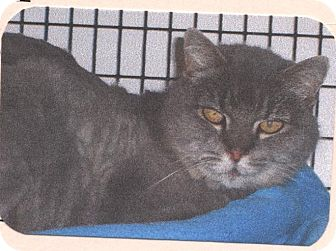 Domestic Shorthair Cat for adoption in El Cajon, California - Gray-C