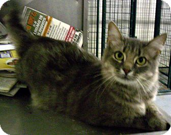 Maine Coon Cat for adoption in Denton, Texas - Annabelle