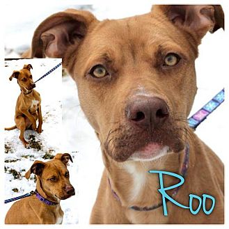 Terrier (Unknown Type, Medium)/Labrador Retriever Mix Dog for adoption in Garden City, Michigan - Roo