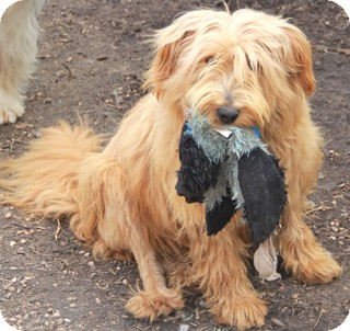 Wheaten Terrier Mix Dog for adoption in Norwalk, Connecticut - Hoda