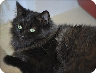 Domestic Longhair Cat for adoption in Trevose, Pennsylvania - Velvet