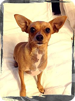 Chihuahua Mix Dog for adoption in San Diego, California - Phoebe