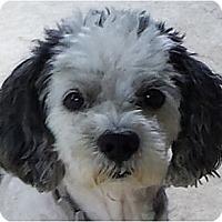 Adopt A Pet :: Alfie-PA - Mays Landing, NJ
