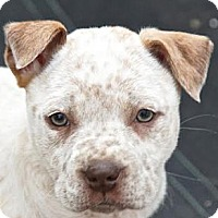 Adopt A Pet :: *Pearl - PENDING - Westport, CT