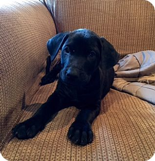 Labrador Retriever Mix Puppy for adoption in Long Beach, California - Dancer