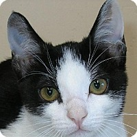 Domestic Shorthair Cat for adoption in San Diego, California - Harley
