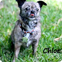 Adopt A Pet :: Chloe - Metairie, LA