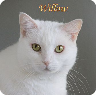 Domestic Shorthair Cat for adoption in Winter Haven, Florida - Willow