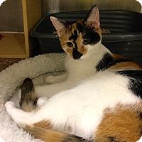 Adopt A Pet :: Cinco - Colmar, PA