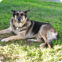 German Shepherd Dog Mix Dog for adoption in Santa Monica, California - King