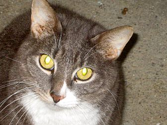 Domestic Shorthair Cat for adoption in Newtown, Connecticut - Winston