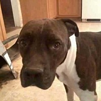 Boxer/American Pit Bull Terrier Mix Dog for adoption in Chandler, Arizona - RAMBO