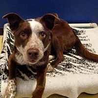 Australian Shepherd/Cattle Dog Mix Dog for adoption in Diamondville, Wyoming - Frisco