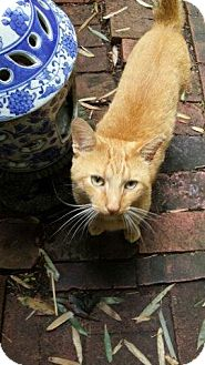 Domestic Shorthair Cat for adoption in Alexandria, Virginia - Sanford