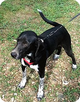 Basset Hound/Australian Cattle Dog Mix Dog for adoption in Kittery, Maine - Carson