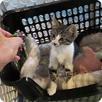 Adopt A Pet :: Cowboy - Geneseo, IL