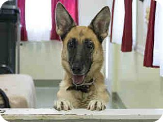 German Shepherd Dog Dog for adoption in Agoura, California - Emilia