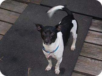 Rat Terrier Dog for adoption in Arkadelphia, Arkansas - Romeo