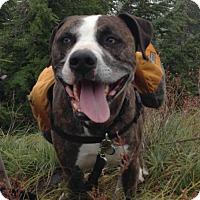 Boxer/Pit Bull Terrier Mix Dog for adoption in Bainbridge Island, Washington - NICO -Active loyal loving boy needs new home