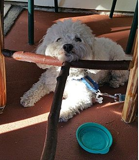 Maltese/Poodle (Miniature) Mix Dog for adoption in Burbank, California - Bo