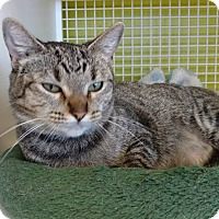 Domestic Shorthair Cat for adoption in El Paso, Texas - Padme
