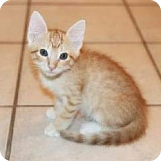 Domestic Shorthair Kitten for adoption in Austin, Texas - Sweet Cheeks