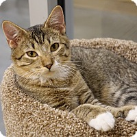 Domestic Shorthair Kitten for adoption in Columbia, Illinois - Moose