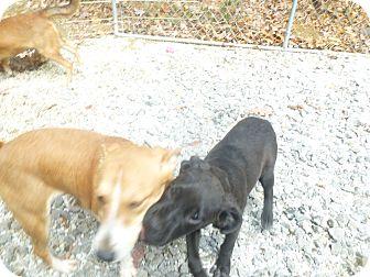 Boxer/Labrador Retriever Mix Puppy for adoption in Glastonbury, Connecticut - Drake