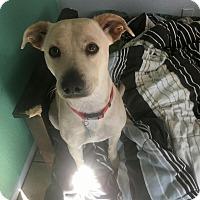 Adopt A Pet :: kenzie 2 - 1 year old lab mix - Mesa, AZ