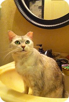 Domestic Shorthair Cat for adoption in Tampa, Florida - Cleo