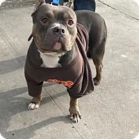 Adopt A Pet :: Xena - Brooklyn, NY