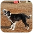 Photo 3 - Border Collie Dog for adoption in Ft. Myers, Florida - Preston