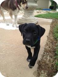 Labrador Retriever Mix Puppy for adoption in Russellville, Kentucky - Gabe